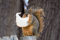 Help Wanted (Crunch53) Tags: squirrel squirrels animal bread outdoors michigan