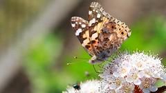 Teilen (michel1276) Tags: schmetterling butterfly mariposa papillon insekt insect tier animal makro macro distelfalter