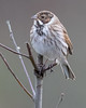 Reed Bunting Posing (queeny63) Tags: elements