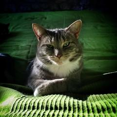 Matilda on Green (Maria Cecilia Camozzi B.) Tags: cat matilda tabby neko green verde letto portait ritratto katze chatte