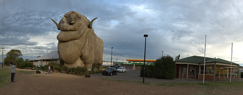 Big Merino Sheep