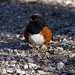 towhee (kkdemien) Tags: spotted towhee