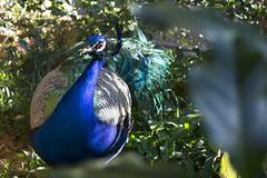 (mayerrodriguez) Tags: peacock bird aves nature naturaleza warm nikon d3100