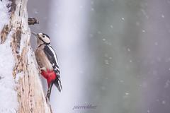 pic-épeiche sous la neige (photopierrot44) Tags: nikon nature neige picépeiche passereau extérieur oiseau hiver sauvage mangeoire