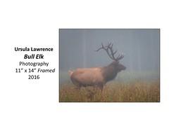 "Bull Elk • <a style=""font-size:0.8em;"" href=""https://www.flickr.com/photos/124378531@N04/32363848921/"" target=""_blank"">View on Flickr</a>"