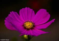 Blurred Purple (MashrikFaiyaz) Tags: plant flower outdoor purple pink yellow dark colors colorful color natural nature beauty beautiful deep nikon d5300 fallen winter light original depth exploration background flickrunitedaward