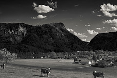 Inzell in Sommer 2016 (bartstoppe) Tags: inzell sommer 2016 kuh cow feld wiese alpen berge dach field bw sony a58 minolta capture one chiemgau bayern