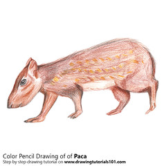 Paca with Color Pencils (drawingtutorials101.com) Tags: paca pacas rodents cuniculus mammals animals sketch sketches sketching pencil draw drawing how