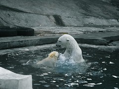 A Polar Bear and a Cub Splashing in a Zoo White Color Animal Wildlife Polar Bear Mammal Animal Themes No People Nature Outdoors Day Moscow Zoo Russia Family Miles Away Moscow (Linandara) Tags: polarbear cub splashing zoo whitecolor animalwildlife mammal animalthemes nopeople nature outdoors day moscowzoo russia family milesaway moscow