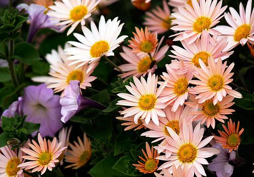Chrysanthemums and Petunias
