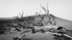 Desert creature (Tiigra) Tags: 2013 dubai landscape nature unitedarabemirates ae color shape tree wood