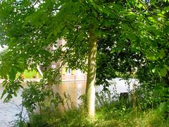 Juglans regia (ekenitr) Tags: tree walnoot juglansregia persianwalnut noyercommun okkernoot echtewalnuss ekenitr