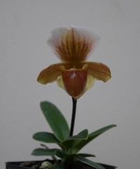 Paphiopedilum Wossner helenae (cieneguitan) Tags: flora lan bunga hybrid orkid seedling okid angrek anggerek