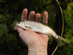 20150822-GR009720-Edit (fleetingphotons) Tags: river fishing ricohgr dace kennet wasingestate warrenbeat midghamberkshire