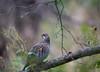 Pyy, Tetrastes bonasia, Hazel grouse (MatsOnni) Tags: grouse pyy linnut hazelgrouse tetrastesbonasia kanalinnut