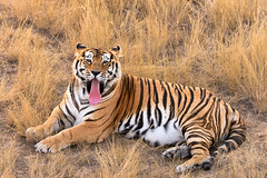 Tiger Yawn (floyka) Tags: wild rescue mammal outdoor wildlife tiger sanctuary twas 2015 floyka