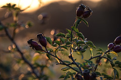 Dog Rose -  Hips Sunset (pogmomadra) Tags: sunset dog sun sunlight rose wednesday golden evening spider weed nikon glow bokeh hips wildflower rosehips cobwebs webs hbw happybokehwednesday d5300 bevclark pogmomadra