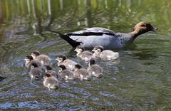 AUSTRALIAN WOOD DUCK (Chenonetta jubata) & Ducklings