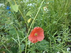 Corn Poppy (Brandon Blahnik) Tags: white flower me garden corn sweet chinese poppy tall forget alyssum not