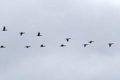 Double-crested Cormorant (steveraduns_ebird) Tags: sky bird birds cormorants fly october florida crest double formation cormorant migration crested orangepark migrating doublecrestedcormorant claycounty 2015 vformation