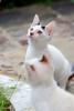 Kittens (d-harding) Tags: animals cat nikon kitten malaysia borneo kotakinabalu putatan d5100 nikond5100 sigma105mmf28macroexdgoshsm