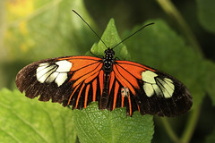 Doris Longwing Butterfly (Feggy Art) Tags: world flowers plants usa macro green eye nature up st closeup fruit america butterfly fly compound wings amazon close flat decay butterflies down lepidoptera nectar folded pollen doris albans antenna decayed decaying chiswell longwing laparus