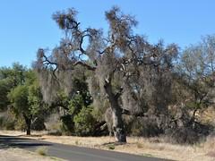Another dead Coast Live Oak (Quercus agrifolia, Fagaceae) tree along Paradise Road (Treebeard) Tags: california dead paradise drought santabarbaracounty fagaceae quercusagrifolia coastliveoak santaynezriver paradiseroad