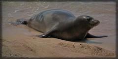 Monk Seal, Molokai (@ Pam Cahill) Tags: ocean beach hawaii seal monkseal