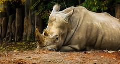 236/365 Southern white rhinoceros (Gene1138) Tags: canon rhino louisville animalplanet louisvilleky louisvillezoo southernwhiterhino canon70d canon28300mmeff3556l