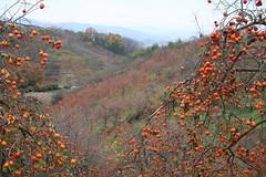Diospyros kaki-27 (The Tree Library (TreeLib.ca)) Tags: japanesepersimmon diospyroskaki