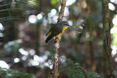Fraser Island-5219 (Andrew Panshin) Tags: vacation queensland fraserisland canon5dmk3 australia beach island easternyellowrobin bird robin nativebirds canon70200mm