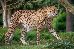 Cheetah Mom (helenehoffman) Tags: africa mammal baby sandiegozoo cheetah safaripark animal wildlife conservationstatusvulnerable babies acinonyxjubatus feline bigcat carnivore felidae nature cubs
