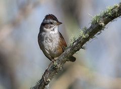 Swamp Sparrow (PeterBrannon) Tags: bird florida melospizageorgiana nature polkcounty swampsparrow wildlife lichen moss