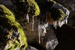 Ghiaccioli (STE) Tags: ghiaccioli ice ghiaccio inverno winter muschio moss
