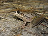 Striped Rocket Frog (Litoria nasuta) (Heleioporus) Tags: striped rocket frog litoria nasuta near ballina new south wales