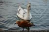 Ruddy shelduck (PChamaeleoMH) Tags: centrallondon london ruddyshelduck stjamesspark swans