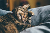 The Life of Aura the Cat :) Happy New Year Everybody! (freyavev) Tags: cat kitty tabbycat tabby tigercat aurathecat catlife relaxing catportrait petportrait relaxation cosy germany deutschland thuringia thüringen 50mm vsco niftyfifty mikasniftyfifty canon canon700d indoor