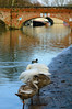 Swan family preening together, Stratford on Avon (Dave_A_2007) Tags: bird bridge nature river swan water wildlife stratforduponavon warwickshire england