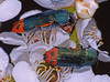 """Jewel-beetles Castiarina ocelligera (Simon Grove (TMAG)) Tags: """"tmag zoology"""" """"tasmanian museum art gallery"""" """"january 2017"""" tasmania insecta coleoptera buprestidae castiarina"""