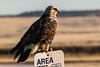 Rough Legged Hawk – A First (MelRoseJ) Tags: dorris california unitedstates a77ii alpha autofocus sonyalpha sal70400g sony sonyilca77m2 nature klamathwildliferefuge roughleggedhawk hawk