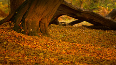 Autumn Rays (DrScottA) Tags: uk outdoor richmondpark autumn autumncolour leaves