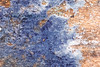 Comatricha ellae (iwanvh) Tags: blob comatrichaellae fungi mycophage myxogastra protiste art artist biodiversity bleu environement iwan iwanvh m mushroom myxomycet naturalist naturaliste nature photographe photographer sclerote vanhoogmoed wwwiwanvhcom
