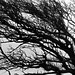 wild is the wind (bnicoll2020) Tags: wind tree winter weather shaped branches