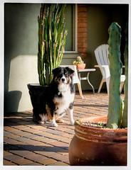3/52 - Phoenix Digs (jayvan) Tags: dash aussie australianshepherd dog home cacti sunshine 52wfd 52weeksfordogs phoenix arizona