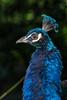 Peacock (AliTalley) Tags: bird zoo captive peacock sf sanfrancisco sanfranciscozoo blue catchycolorsblue