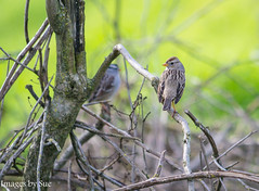 _DSC0591.jpg (susanm53@verizon.net) Tags: bird tuolumneriver songsparrow california nature