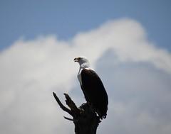 African Fish Eagle (Haliaeetus vocifer) (mat.breiten) Tags: african fish eagle haliaeetus vocifer bird baringo kenya