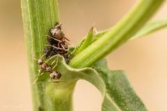 Family (JDanyaloff) Tags: ants macro family insect macroworld green summer nikon d610 tokina 100mm