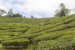 Beautiful Cameron Highlands - tea and flower capital of Malaysia