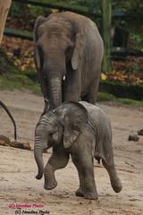 Babyfant Tuffi tobt durch das Gehege (Noodles Photo) Tags: afrikanischerelefant africanbushelephant elefant elephant tuffi bigfive loxodontaafricana babyfant tierkinder zoowuppertal säugetier africanelephant zoo